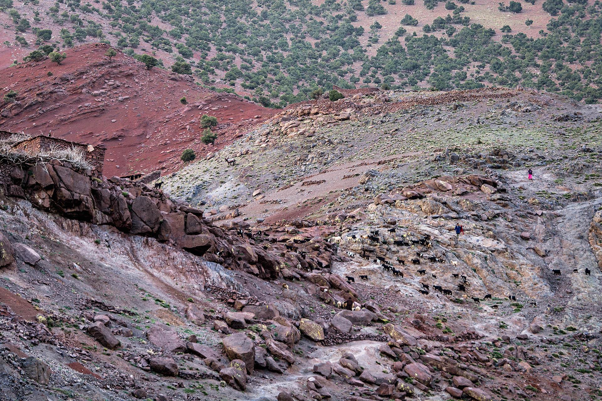 goats, Azzaden Valley, High Atlas Mountains, Morocco
